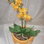 Orchidej oranžová